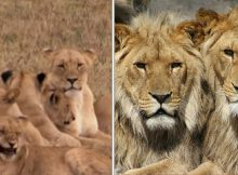 3 trophy hunters break into reserve to kill rhinos, only to be eaten by pride of angry lions