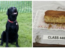Hungry dog chows down on prize entry cake right before baking competition