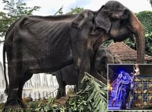 Starving 70-year-old elephant's emaciated body is hidden by festival costume – this is so cruel!