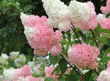 These stunning vanilla strawberry hydrangeas would be the sweetest addition to your garden