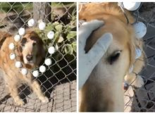 Dog living next to golf course loves attention, has her own fence spot where golfers can pet her