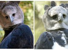 Harpy eagles are giant birds-of-prey... that look strangely like people in bird costumes