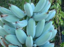 These rare blue bananas taste like vanilla ice cream