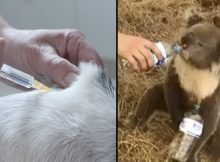 Australian vets forced to mass euthanise suffering animals burnt in raging bushfires
