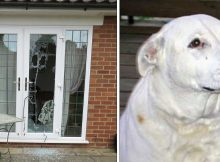 Pit bull mix smashes through window to save 2 beaten and tied women from violent domestic abuser