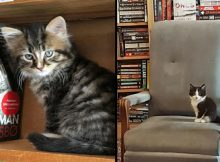 Kittens roam free in this Canadian bookstore and customers can even adopt them